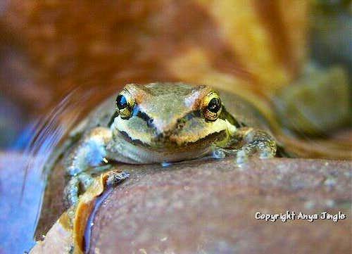 Frog's Eyes