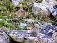 Pikas and Other Lagomorphs