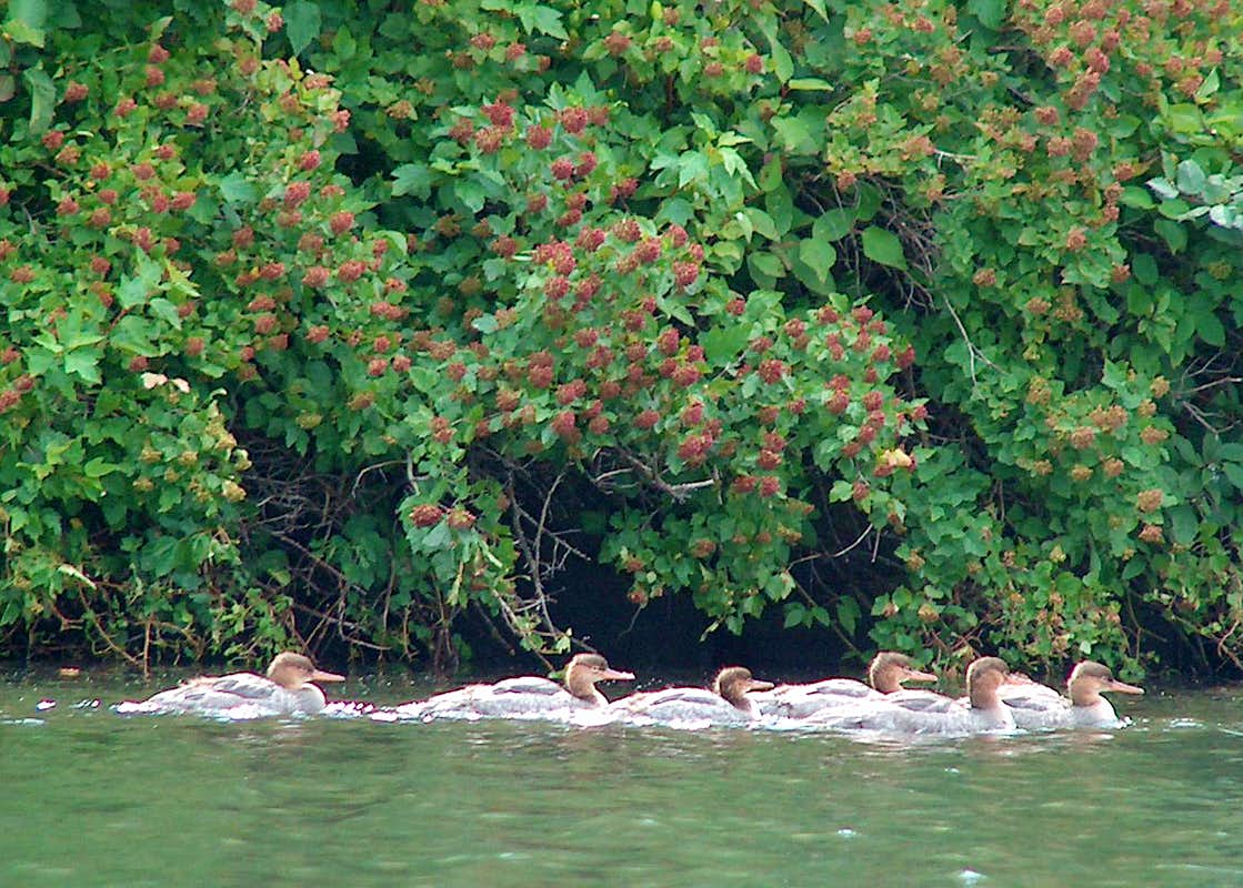 Canvasbacks and Thimbleberries, Isle Royale