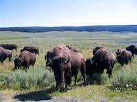 Yellowstone wildlife.