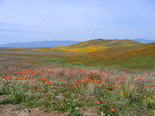 California Wildflowers...