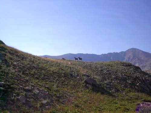 A pair of Bighorn Sheep...