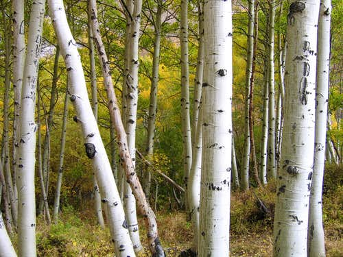 Amidst the Aspens...