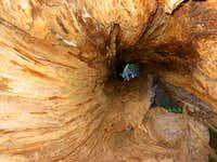 Looking Tree