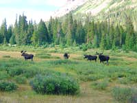 Four Bull Moose