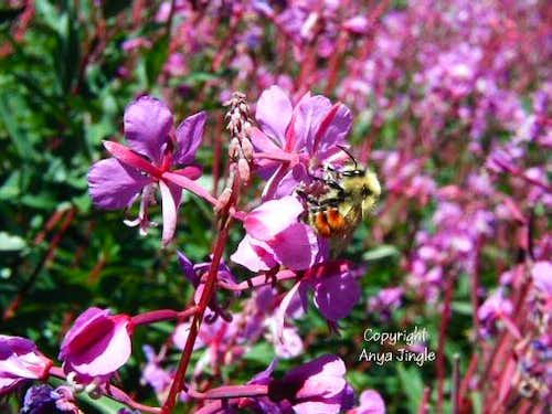Bee in Fireweed