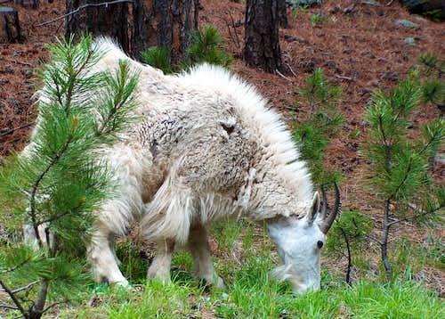 Mama Goat, Black Hills