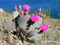 Beavertail Cactus