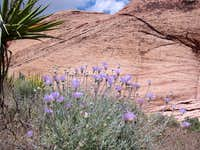 Mojave Asters