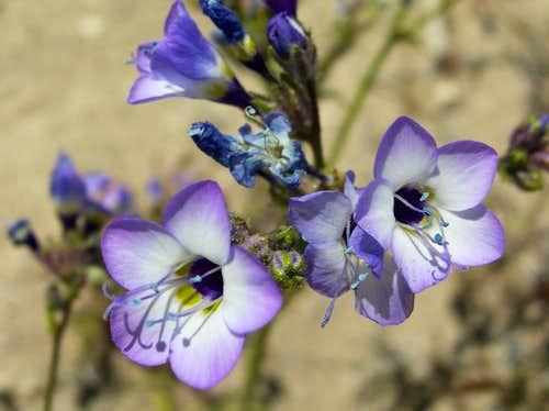 Mojave Wildflower