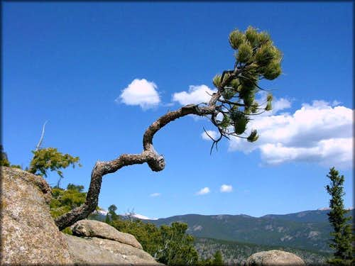 Wind Twisted Ponderosa