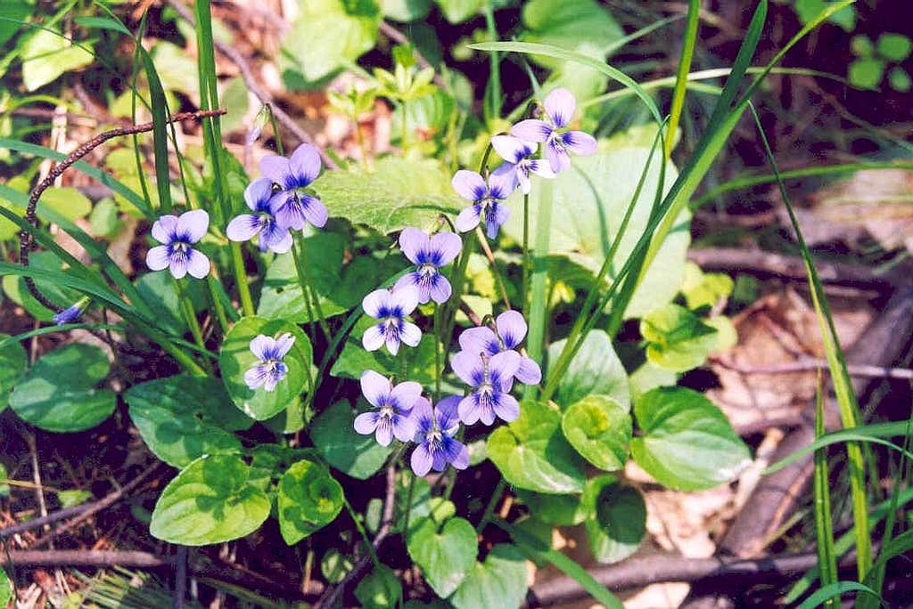 Blue Marsh Violet (Viola cucullata)
