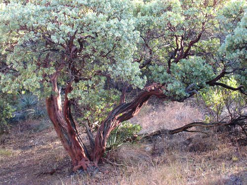 Big, thick Manzanita trunk