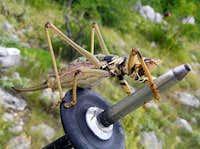 Grasshopper like...