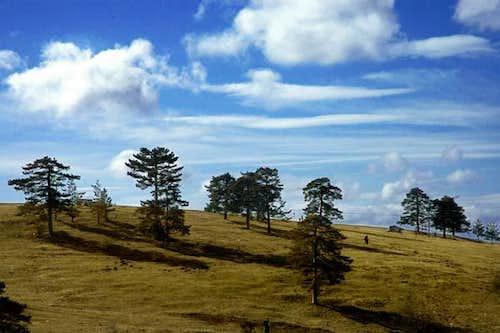 The pine trees