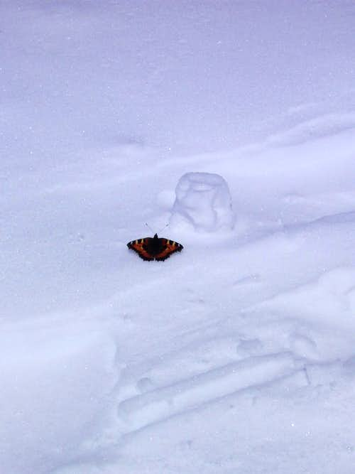 Butterfly near top of Mont Blanc
