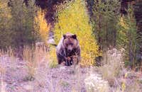 Grizzly near Yellowstone