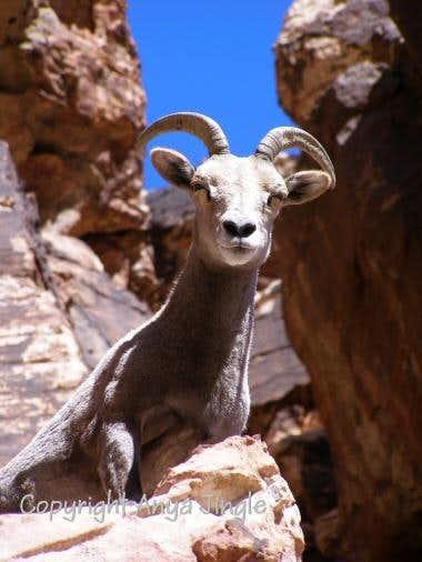 Desert Bighorn Sheep of Red Rock