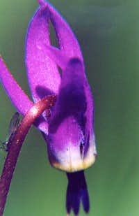 Shooting Star with Lacewing