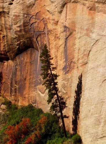 Zion Pine