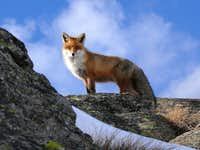 The Fox (Valsavarenche, Gran Paradiso)...