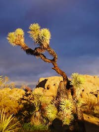 Joshua Tree against a dark sky at sunrise