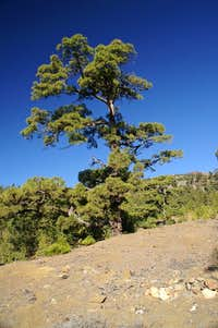 Canarian Pine
