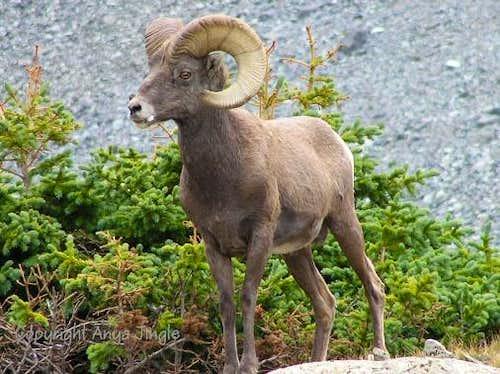 Colorado Ram