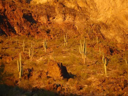 Alpenglow Saguaro