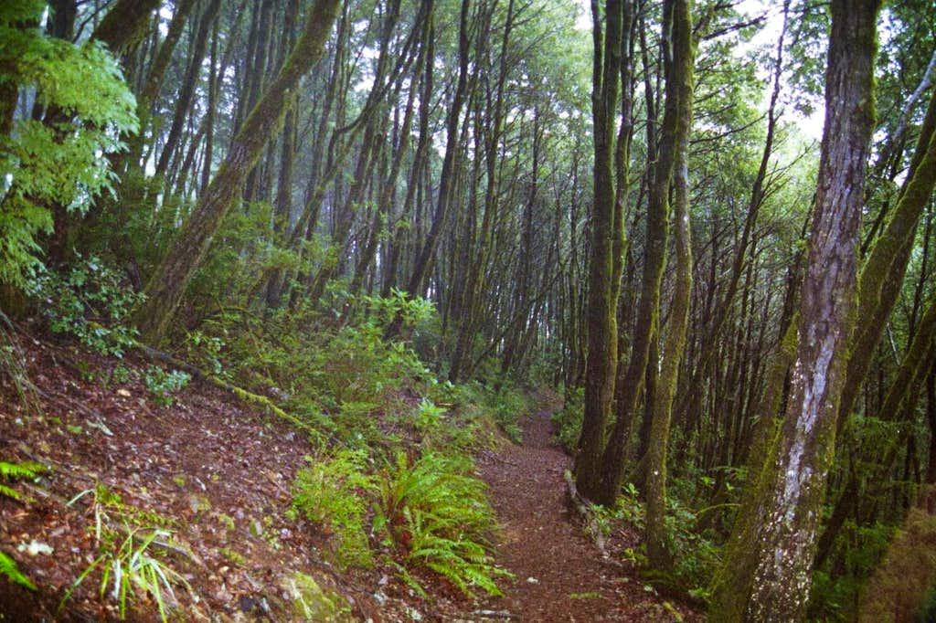 Tanbark Oak