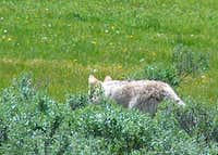 Coyote Stalking Rodents