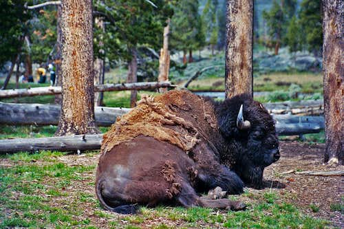 Bison sitting in camp