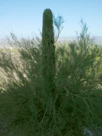 Palo Verde dying due to Saguaro