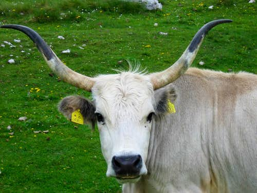 It is a cow or bull?