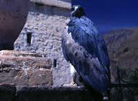 Blue Bird of Prey