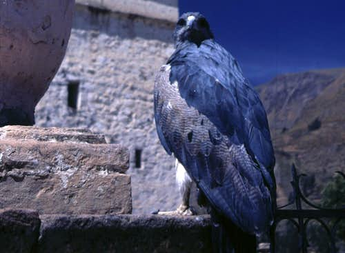 Blue Bird of Prey