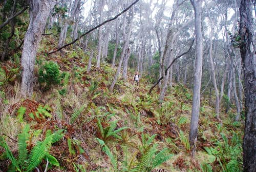 Kaupulehu Crater forest