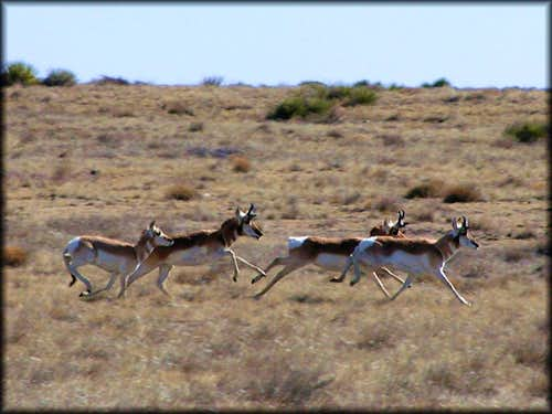 Speedy Pronghorn