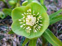 Elleboro verde