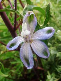 Dew on the Larkspur