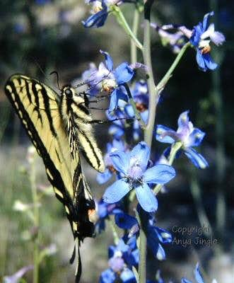 Desert Larkspur with Swallowtail butterfly