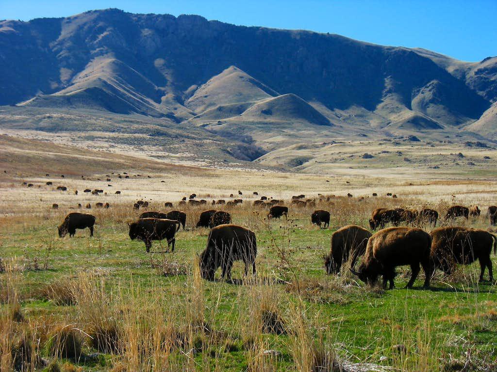 Buffalo below Frary Peak