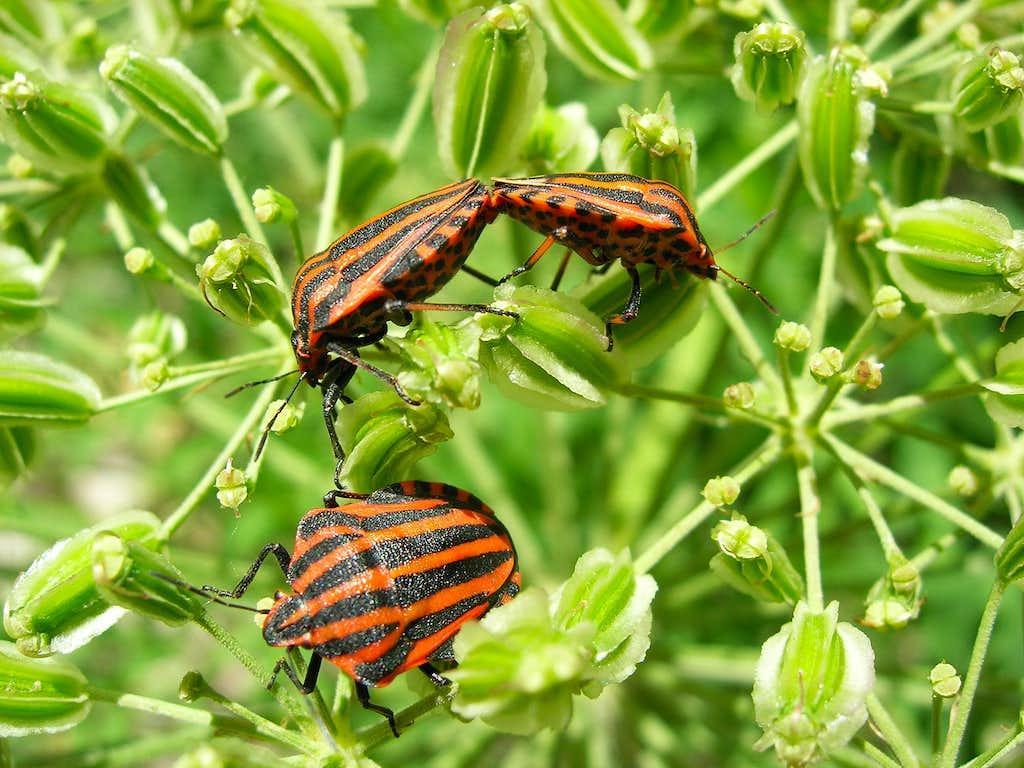 Red-black Shieldbug <b><i>Graphosoma lineatum</b></i>