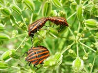 Red-black Shieldbug <b><i>Graphosoma lineatum</b></i>