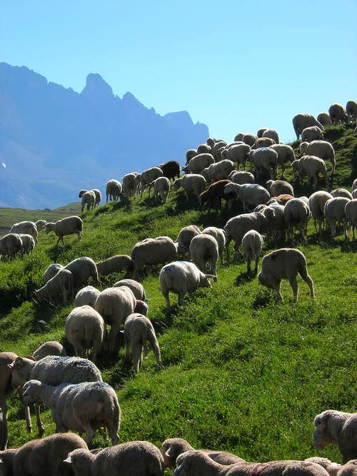 Col de Galibier sheep