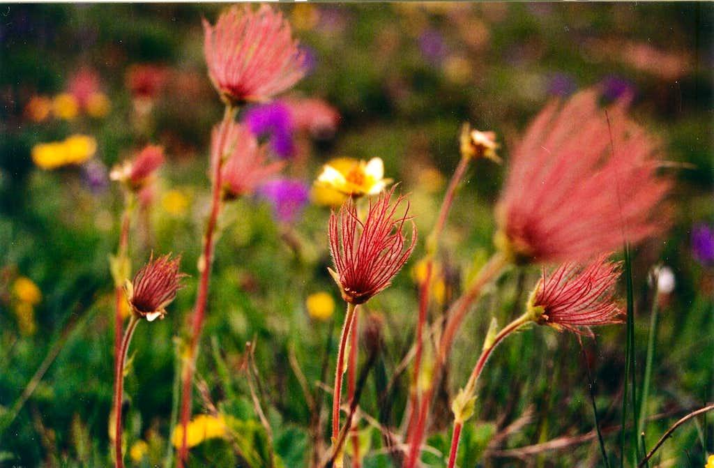 <b><i>Sieversia montana