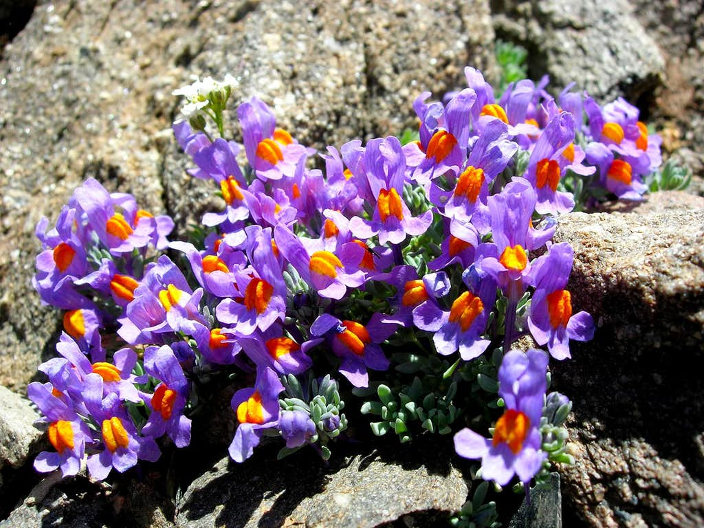 alpine toadflax <i><b>Linaria alpina</b></I>