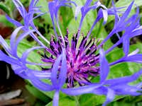 Mountain Cornflower<b><i> Centaurie montana</I></b>