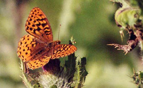 A (large) Fritillary on a Coast Range Hike