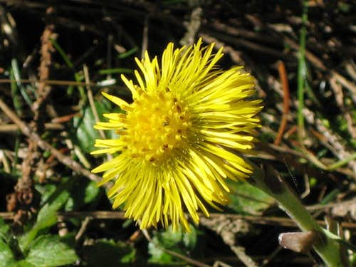Tussilago farfara - coltsfoot (Huflattich) with an insect